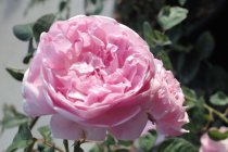 english_rose_bishops_castle