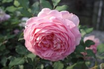 english_rose_jubilee_celebration