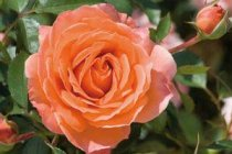 rose_floribunda_adobe_sunrise