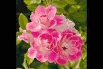 rose_floribunda_brilliant_pink_iceberg