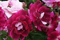 rose_floribunda_burgundy_iceberg