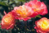 rose_floribunda_chihuly
