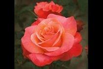 rose_floribunda_colorific