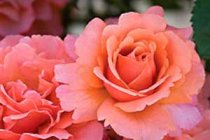 rose_floribunda_easy_does_it