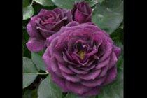 rose_floribunda_ebb_tide