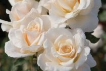 rose_floribunda_french_lace