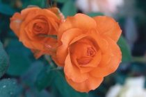 rose_floribunda_gingersnap