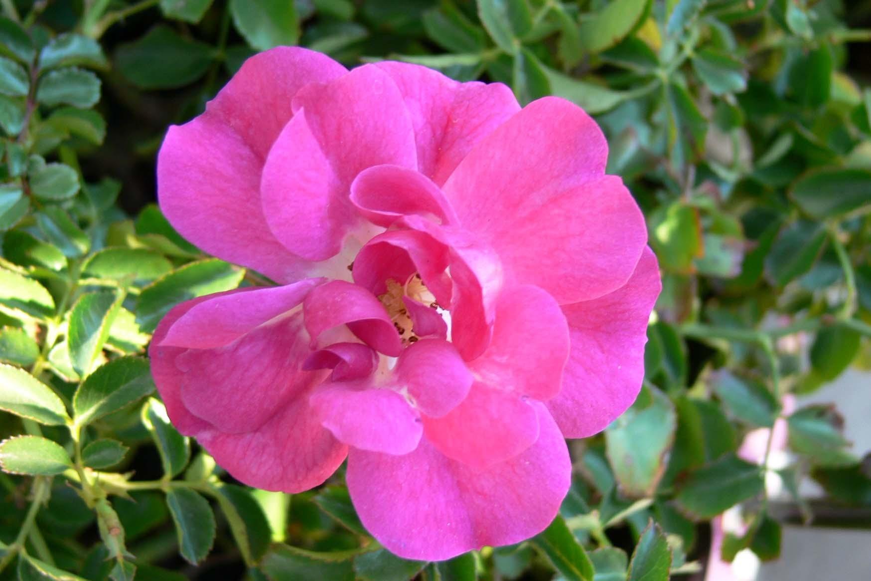 Index of wp contentgalleryroses flower carpet rose flower carpet pink supreme2gbackup dhlflorist Image collections