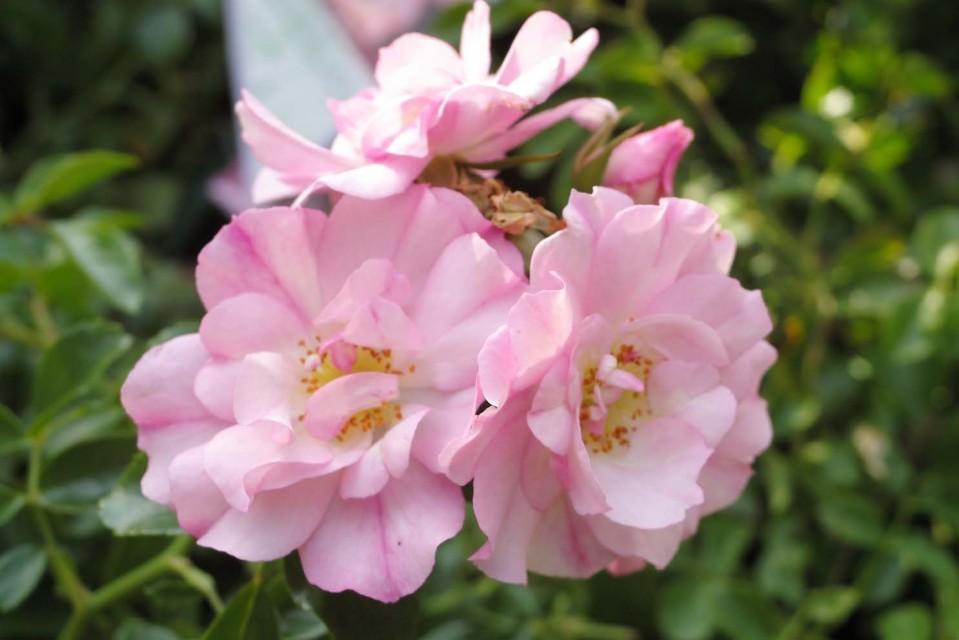 Flower Carpet Rose Appleblossom
