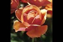 rose_grandiflora_about_face