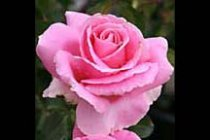 rose_hybrid_tea_bewitched