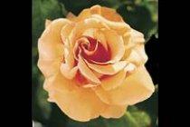 rose_hybrid_tea_brandy