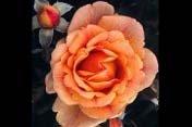 rose_hybrid_tea_bronze_star