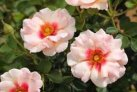 rose_shrub_eyeconic_pink_lemonade