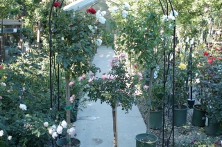 roses_rose_trees