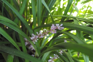 shade_flowering_liriope_gigantea