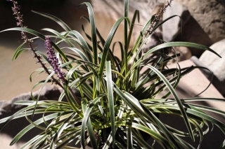 shade_flowering_liriope_variegata