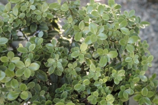 shrub_pittosporum_golf_ball