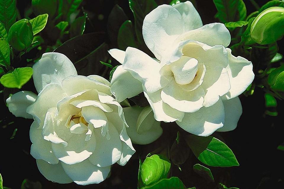 Gardenia U0027August Beautyu0027. Shrub_gardenia_august_beauty.  Shrub_gardenia_august_beauty