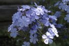 shrub_plumbago_capensis