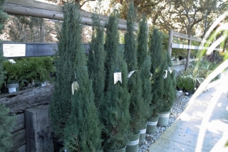 shrub_screening_cupressus_tiny_tower