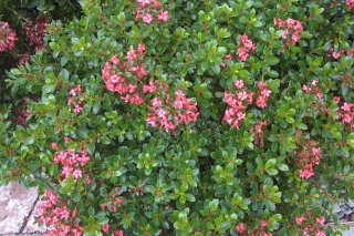 shrub_escallonia_compacta2