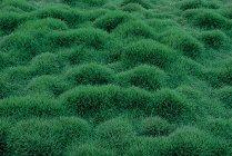 sod_zoysia_tenuifolia