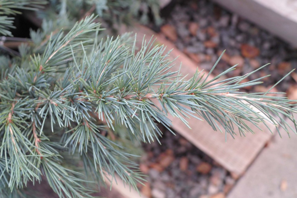 Blue Cedar Tree Varieties ~ Cedrus 'feelin blue sperling nursery gift shop