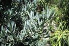 tree_podocarpus_icee_blue