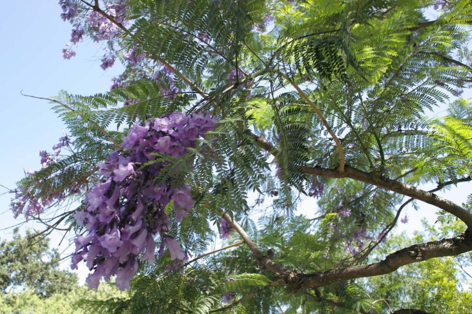 tree_jacaranda_mimosifolia