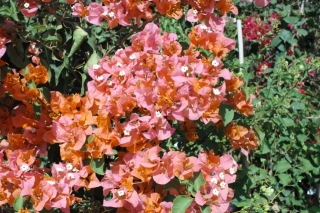 vines_orange_bougainvillea_orange_king
